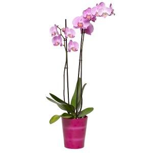 bg-phalaenopsis-rosa